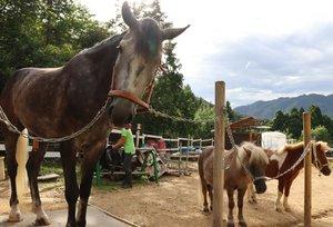 乗馬体験を楽しむことができる3頭の馬(京都府宮津市須津・橋立の馬屋)