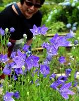 紫色の花を付けたキキョウ(京都府亀岡市宮前町猪倉・ききょうの里)