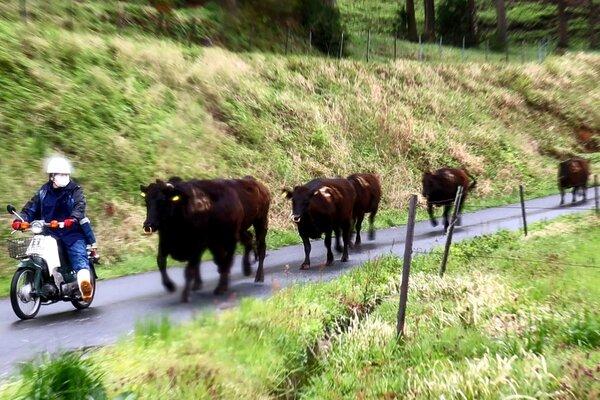 バイクの先導で放牧場へ道路を猛進する牛たち(京都府京丹後市丹後町・碇高原牧場)
